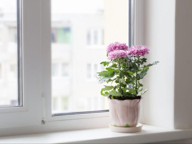 bunga krisan untuk menyaring racun dalam udara di kamar tidur