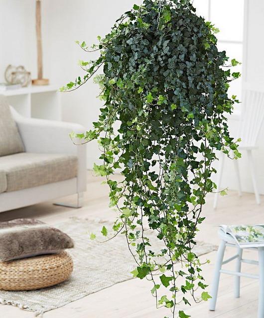 english ivy adalah salah satu jenis tanaman untuk kamar karena kemampuannya sebagai pembersih udara yang baik