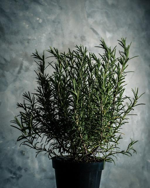 rosemary tanaman untuk kamar tidur