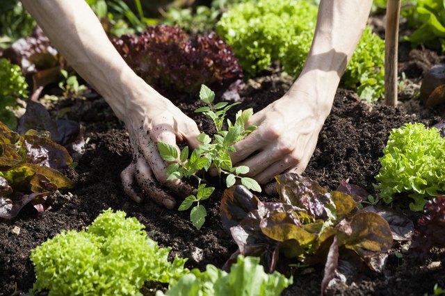 ampas kopi menyuburkan dan melindungi tanaman dari hama